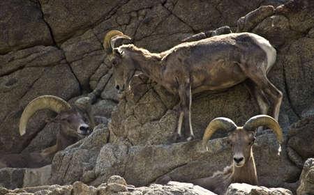 Drie Bighorn schapen