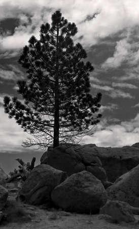 lone pine: Lone Pine