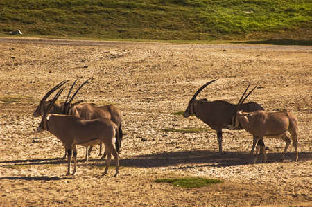 Watchful Roan Antelope photo