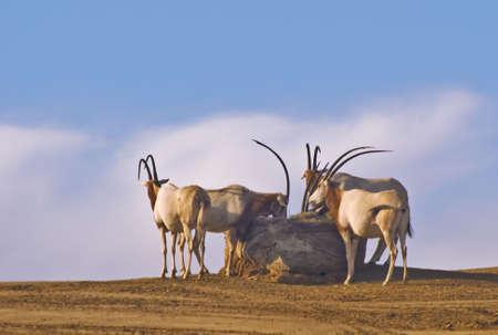 oryx: Scimitar-horned Oryx against the sky Stock Photo