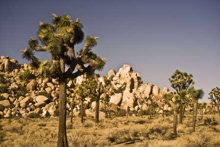 Joshua Trees and Desert Boulders