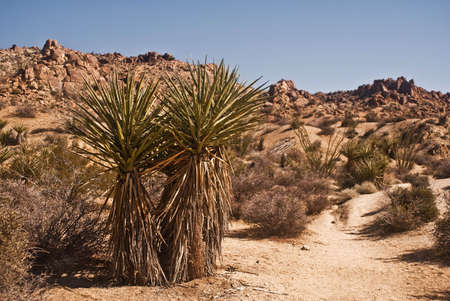 yucca: Yucca Against the Mountains