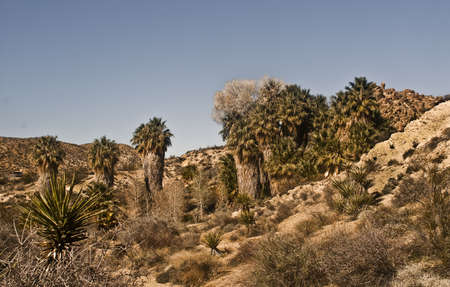 Desert Oasis with California Fan Palm Trees