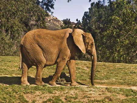 Elephant Taking a Stroll