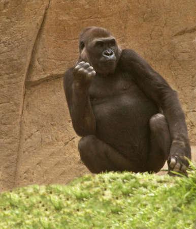 pondering: Female Gorilla Pondering