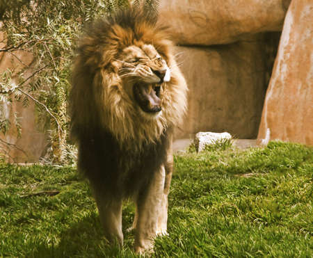 lion roar: Lion Roaring Stock Photo