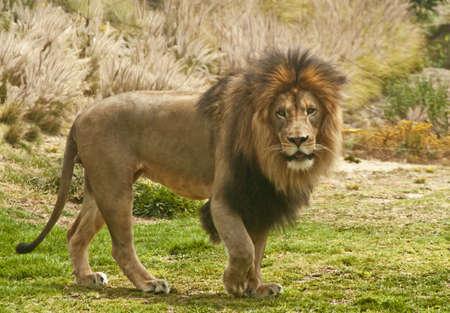Lion Wallking