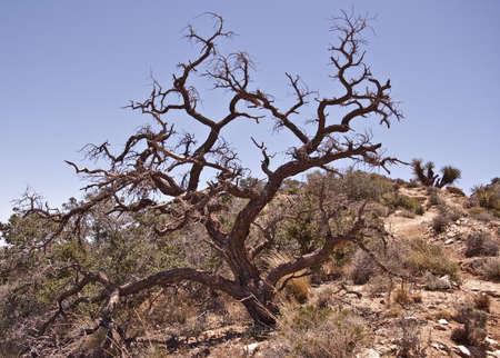 gnarled: Nudosos roble en el Parque Nacional Joshua Tree Foto de archivo