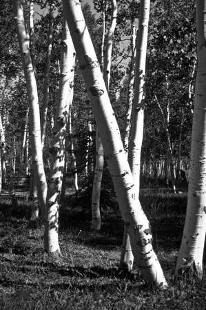 High Mountain Aspens