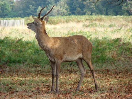 Wild Deer in Richmond Park Stock Photo - 537231