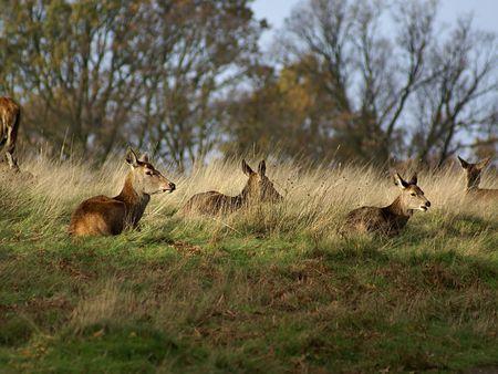 Herd of Deer sitting in Undergrowth