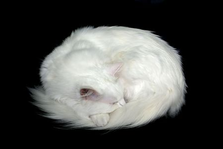 White cat asleep on a black background