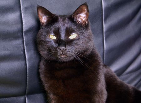 Black Cat against the backdrop of a Leather Chair