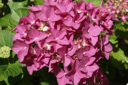 Close Up of a Hydrangea in bloom