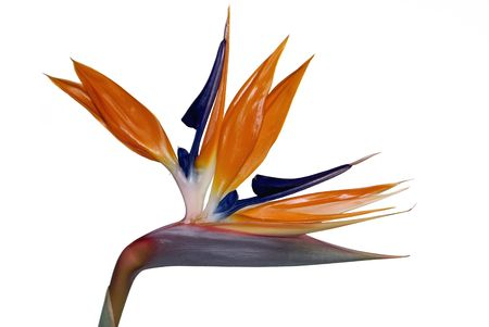 bloom bird of paradise: Bird of Paradise Flower (Strelitzia Reginae) isolated on white. Official Flower of the City of Los Angeles Stock Photo