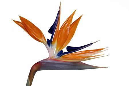 Bird of Paradise Flower (Strelitzia Reginae) isolated on white. Official Flower of the City of Los Angeles Standard-Bild