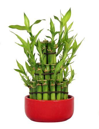 buena suerte: Suerte de bamb� en una olla de cer�mica Roja aislados sobre fondo blanco