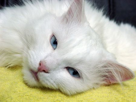 White Cat with Blue Eyes Looking at the Camera Stock Photo
