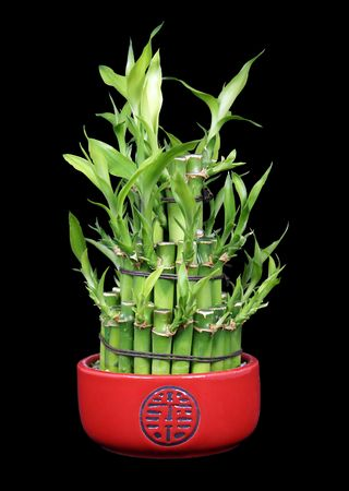 superstitions: Lucky Bamboo in a Red Ceramic Pot Isolated on a Black Background Stock Photo