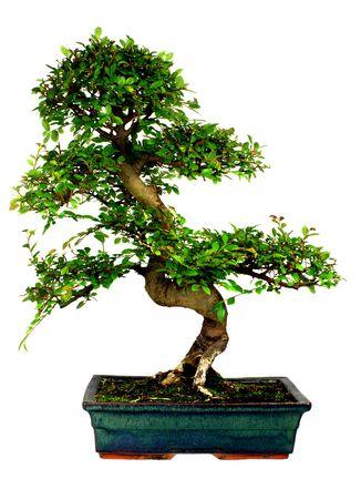 Chinese Elm bonsai tree Isolated on white Stock Photo