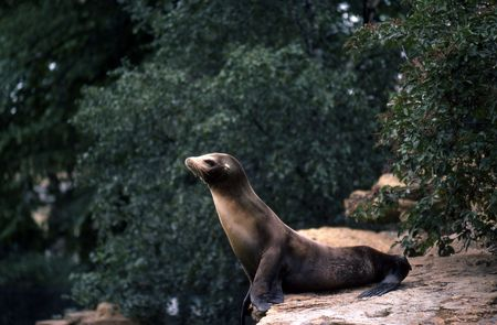 Sealion sitting on the side of a rock Stock Photo