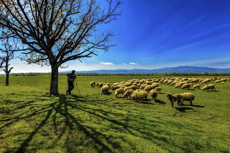 shephard: Flock of sheep