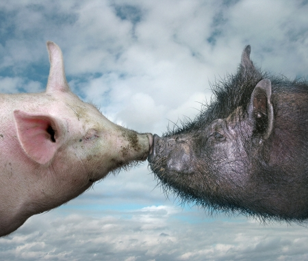 bacon love: Two pigs kissing  Stock Photo