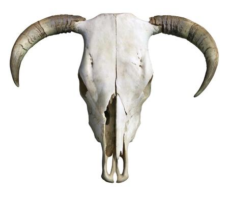 Crâne de vache Banque d'images