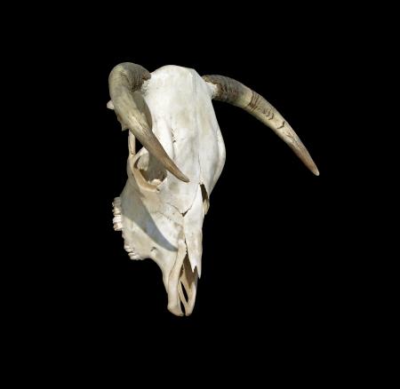 craneo de vaca: Cow Skull