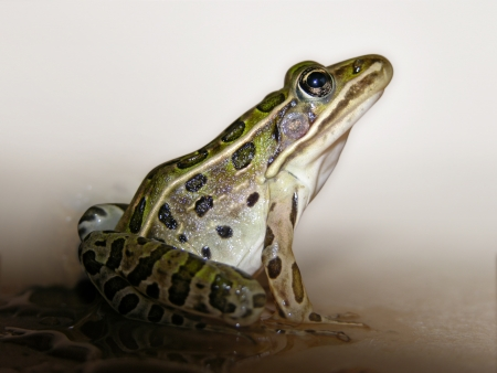 その環境から分離されたヒョウ カエル