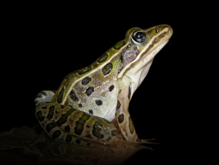 A leopard frog isolated from its environment  Stock Photo