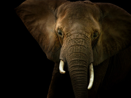 Photo illustration of a front facing African elephant spot lighted against a black background. Archivio Fotografico