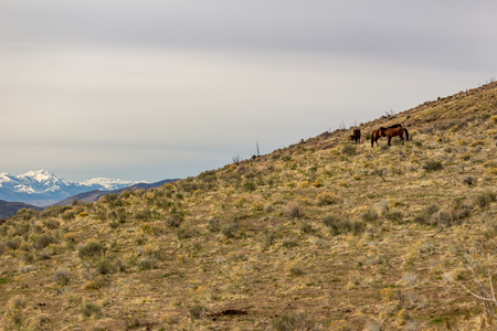 wild horses in a wild horse herd in the high desert scrub bush land in the foothills of the Sierra Nevada mountains.