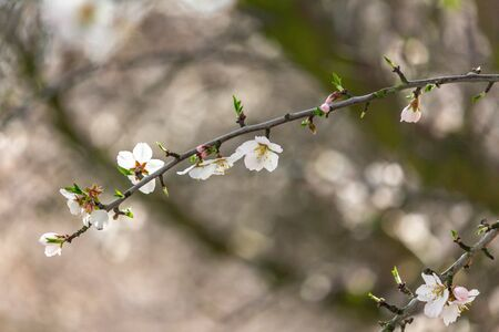 Almond trees in full bloom located in an orchard in central California. Beautiful white nut tree blossoms in an orchard with rows and rows of almond trees. Banco de Imagens