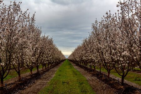 Almond trees in full bloom located in an orchard in central California. Beautiful white nut tree blossoms in an orchard with rows and rows of almond trees. Reklamní fotografie