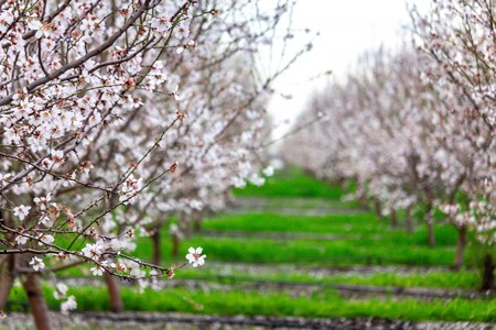 Almond trees in full bloom located in an orchard in central California. Beautiful white nut tree blossoms in an orchard with rows and rows of almond trees. 스톡 콘텐츠