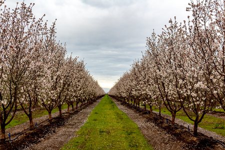 Almond trees in full bloom located in an orchard in central California. Beautiful white nut tree blossoms in an orchard with rows and rows of almond trees. 免版税图像