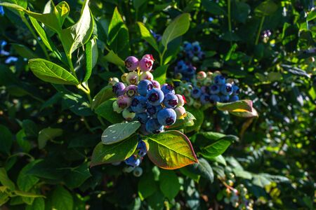 Blueberry bush showing various stages of ripeness at a blueberry farm in the us pacific northwest Reklamní fotografie