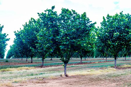 Beautiful symmetry of an orchard in the early morning light with dramatic shadows in the grove.