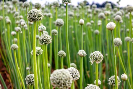 Field of green onions with rows and rows of crops. Onions have blooms on top. Reklamní fotografie