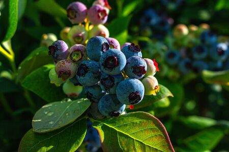 Blueberry bush showing various stages of ripeness at a blueberry farm in the us pacific northwest Stok Fotoğraf - 132126253