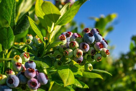 Blueberry bush showing various stages of ripeness at a blueberry farm in the us pacific northwest Stok Fotoğraf