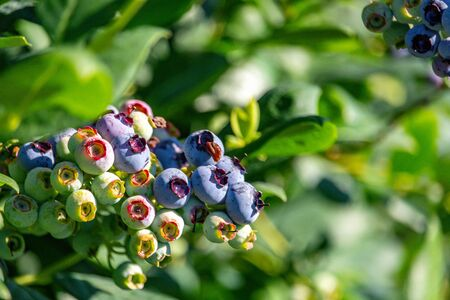 Blueberry bush showing various stages of ripeness at a blueberry farm in the us pacific northwest in 4K.