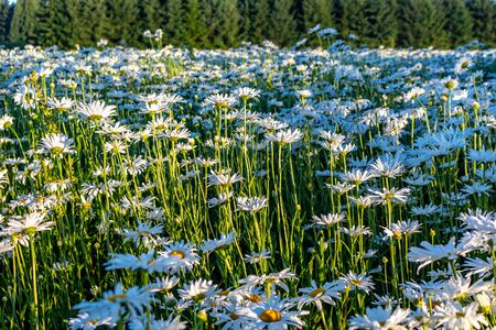 Camera moving through the summer flowers field of white daisies in the early morning sunrise. Sunny blue sky background. White daisies used for agriculture.