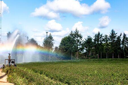 Dans les rayons du soleil, système d'irrigation automatique par aspersion pulvérisant de l'eau sur les cultures dans un champ agricole. Le bel arc-en-ciel est proéminent dans la scène. 4k