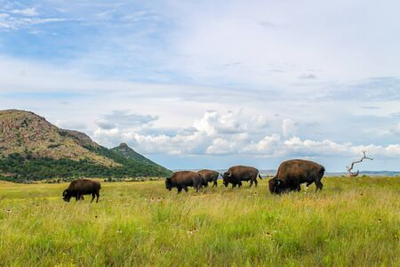 Herd of wild buffalo grazing on lush green grass with dramatic clouds in the background. Bison roaming free range in the Wichita Wildlife Refuge in Oklahoma.