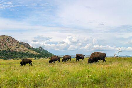 Manada de búfalos salvajes pastando en una exuberante hierba verde con espectaculares nubes de fondo. Bisontes en libertad en el Refugio de Vida Silvestre de Wichita en Oklahoma.