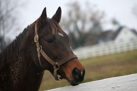 Nahaufnahme des ein Vollblut, Renn-Pferd