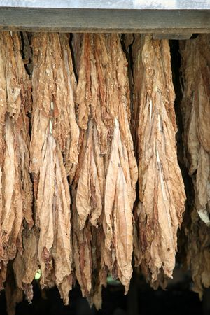 snuff: Tobacco hanging in a barn Stock Photo