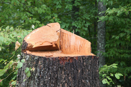 Close up of a freshly chopped down tree